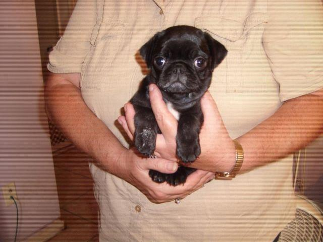 Pug Black puppy