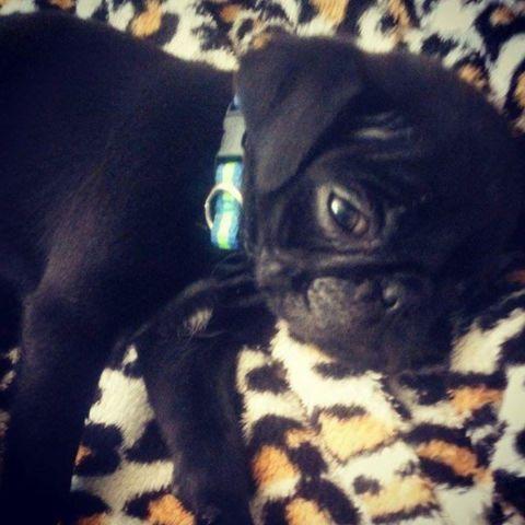Pug Black Puppy For Sale For Sale In Yuma Arizona Classified