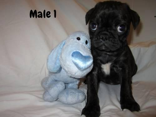 PUG/BOSTON TERRIER MIX PUPPIES