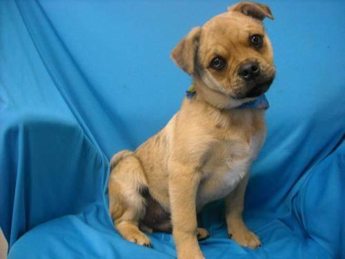 Pug Bruiser Small Adult Male Dog For Sale In Tulsa Oklahoma Classified