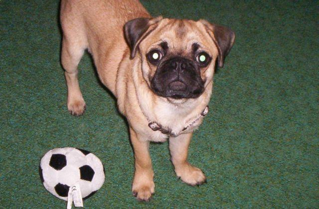 Apricot Pug For Sale In Pennsylvania Classifieds Buy And Sell In