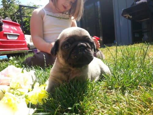 pug for sale seattle pug papillon mix puppies for sale in vancouver washington 5630