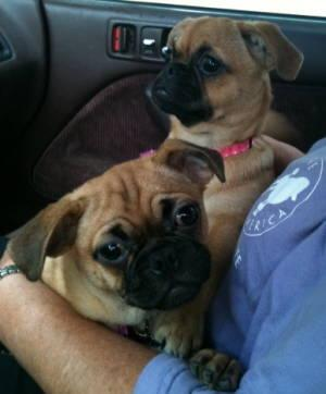 pug puppies for sale in ct pug pug mix puppy female wirehaired small baby 5545