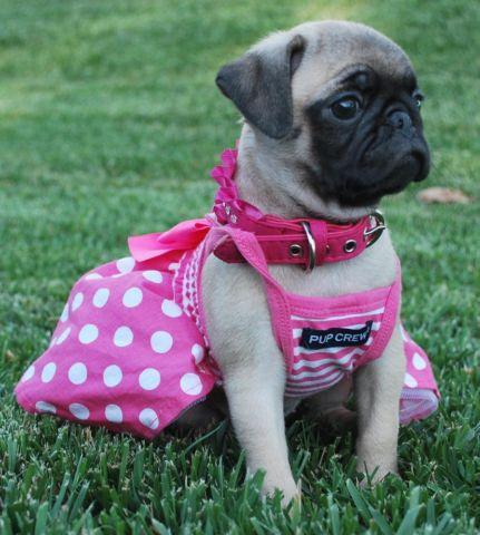pug for sale san diego pug puppies 8 weeks old beautiful for sale in san diego 826