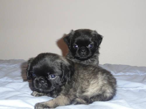 Pug Puppies For Sale In Aberdeen South Dakota Classified