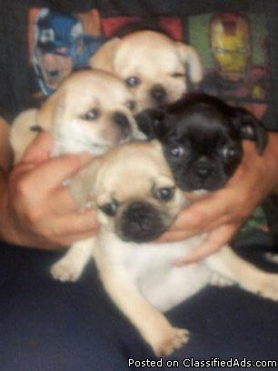 pug breeders in va pug puppies for sale in roanoke virginia classified 9380