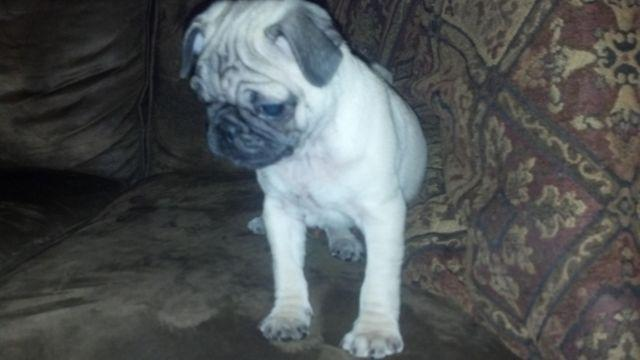pug puppies for sale in ct pug puppies for sale in canterbury connecticut 1901