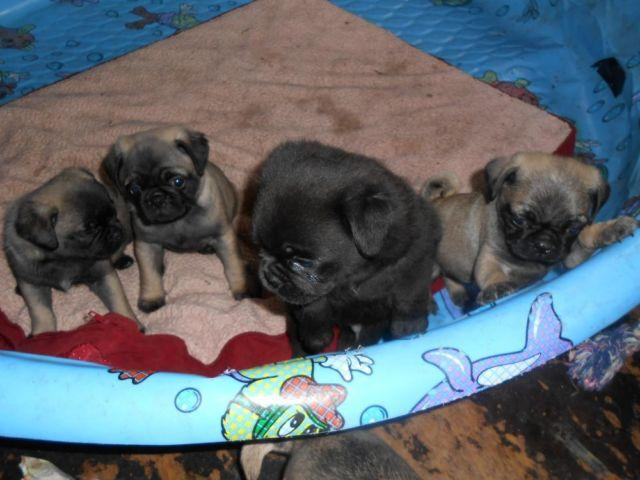 pug breeders mn pug puppies for sale in mankato minnesota classified 2991