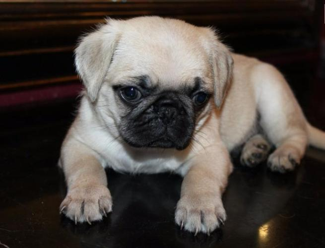 Pug Puppies For Sale In Chicago Illinois Classified