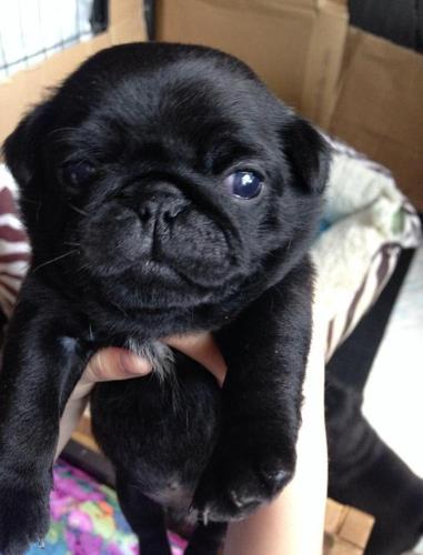 pug for sale seattle pug puppies for sale in seattle washington classified 9496