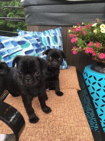PUG PUPPIES - BLACK