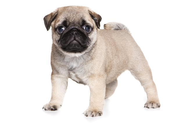Pug bull dog mixed puppies pets and animals for sale in miami pug bull dog mixed puppies pets and animals for sale in miami florida puppy and kitten classifieds buy and sell kittens and puppies americanlisted thecheapjerseys Choice Image