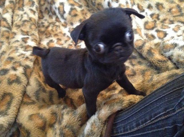 Bugg Pug Boston Puppies For Sale In Ohio Classifieds Buy And Sell