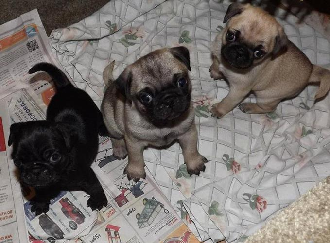 Pug bull dog mixed puppies pets and animals for sale in miami pug bull dog mixed puppies pets and animals for sale in miami florida puppy and kitten classifieds buy and sell kittens and puppies americanlisted altavistaventures Images