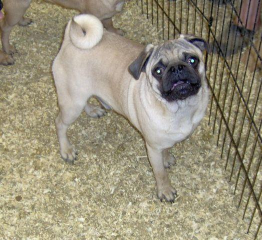 akc pug puppies for sale pug puppy akc male fawn for sale in bottle creek 9871