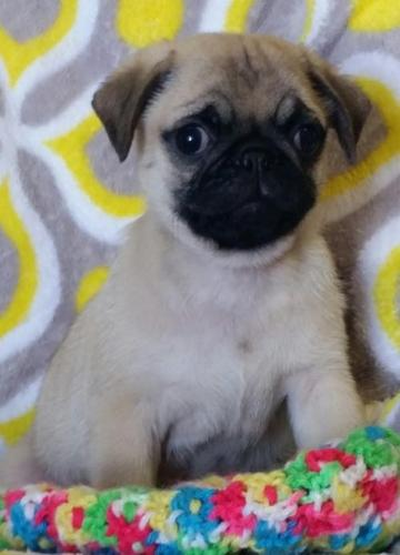 Pug Puppy for Sale - Adoption, Rescue for Sale in Great