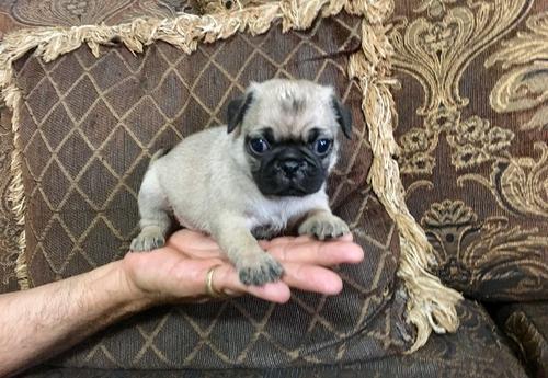 Pug Puppy For Sale Adoption Rescue For Sale In Phoenix Arizona