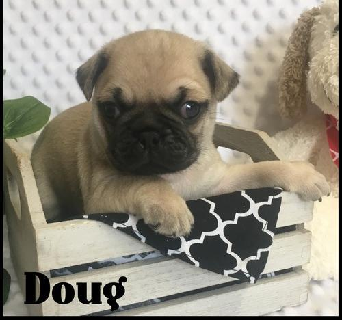 Pug Puppy for Sale - Adoption, Rescue
