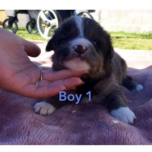 Pug pups blue eyes pomsky