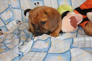 Puggle Puppies in NY