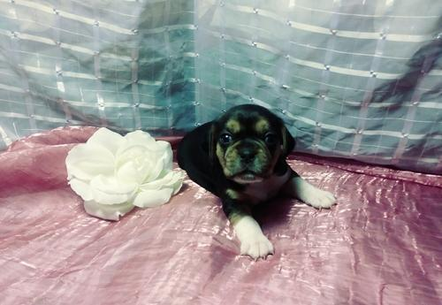 Puggle Puppy for Sale - Adoption, Rescue for Sale in