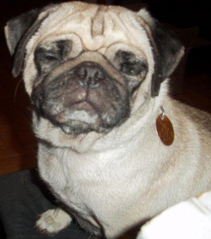 Pugs 2 Adult Females 5 Years Old Must Rehome Seperately For Sale