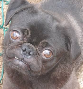 pug rescue ny pugs for adoption for sale in watertown new york 5895