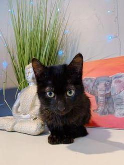 Puma Domestic Shorthair Kitten Male