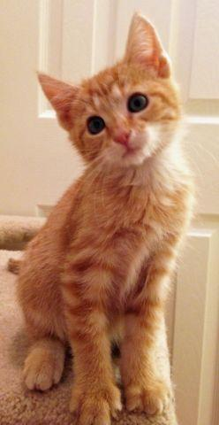 punkin   adorable feisty dsh orange tabby female kitten