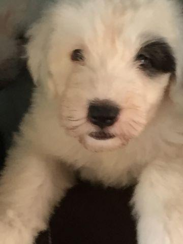 Puppies for sale! Old English Sheepdog (viejo pastor in)