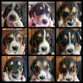 Puppies Treeing Walker Coonhound Puppy Male For Sale In Catharpin