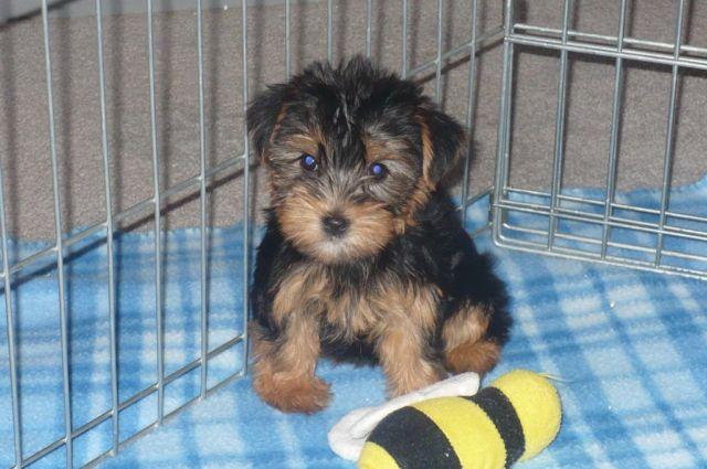 Yorkie Poo For Sale In Tucson Arizona Classifieds Buy And Sell
