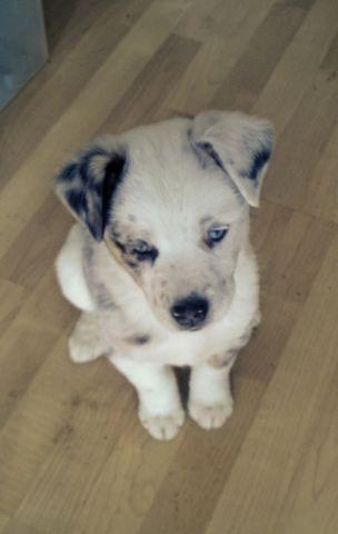 Puppy Australian Shepherdborder Collie Mix For Sale In Burlington