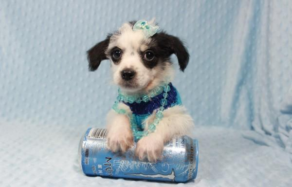 Puppy Heaven Teacup Toy Puppies For Sale In Las Vegas For Sale