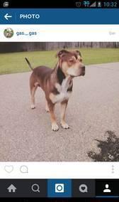 puppy Pitbull
