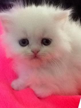 Pure Bred blue eyed white Persian kittens- ready today