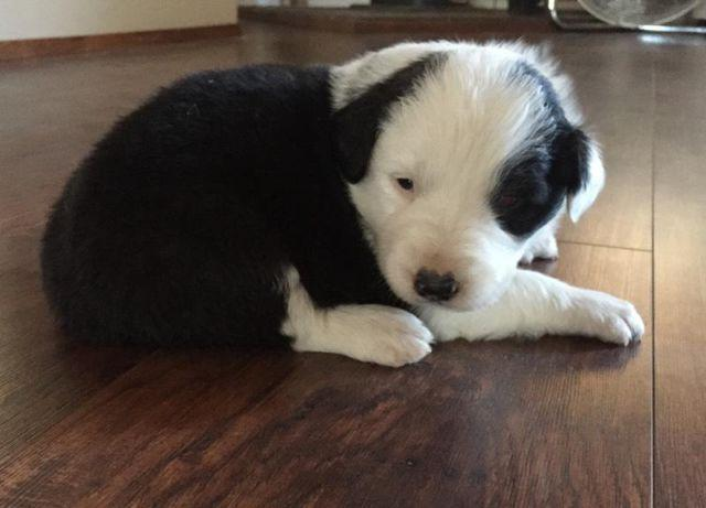 Pure Bred Border Collie Pups For Sale In Valley Springs California