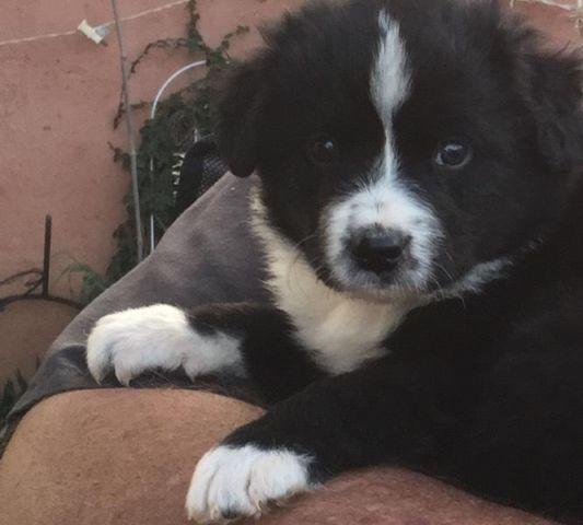 Pure Bred Border Collie Pups Banning Area For Sale In Banning
