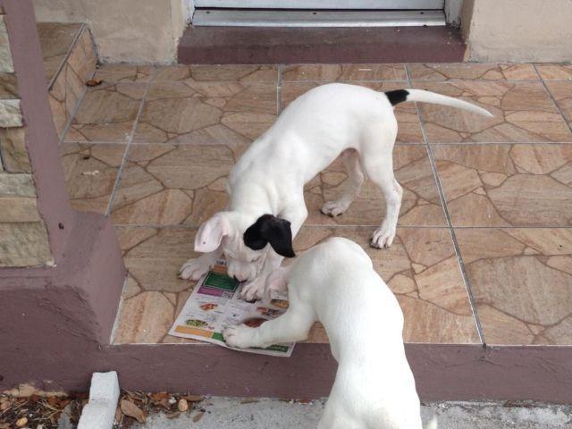 Pure Bred Dogo Argentino For Sale In Miami Florida Classified Americanlisted Com