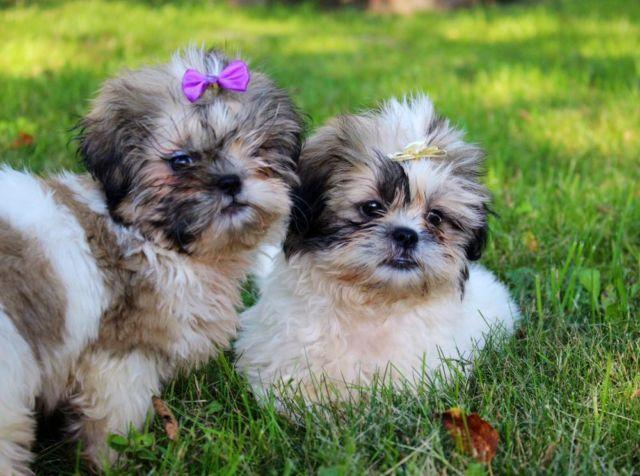 shih tzu puppies for sale in ma pure bred female shih tzu puppy for sale in natick 3974