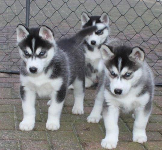 Pure Bred Full Pedigree Siberian Husky Puppies For Sale In