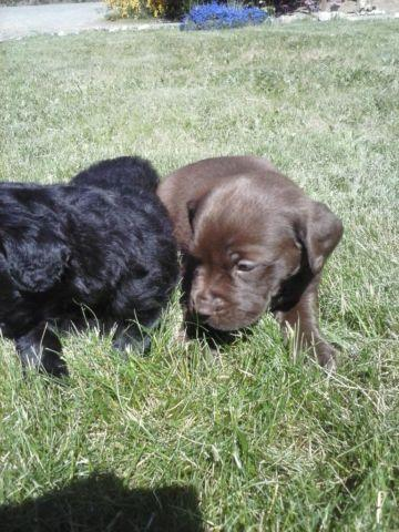 pure bred lab puppies black and chocolate