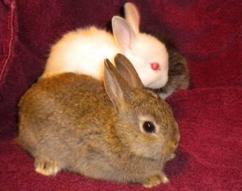 Pure-Bred Netherland Dwarf Baby Bunnies...
