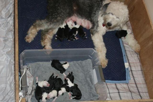 Pure Bred Old English Sheepdog Puppies