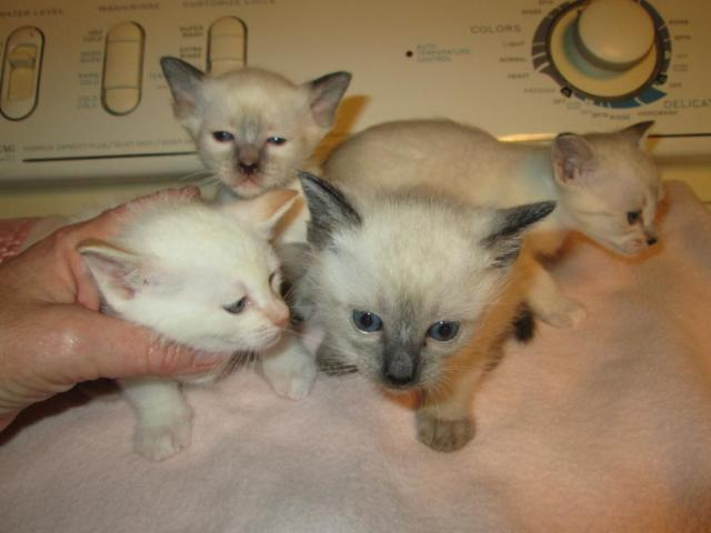 Pure Bred Siamese Kittens for sale, lynx, blue, flame,seal points
