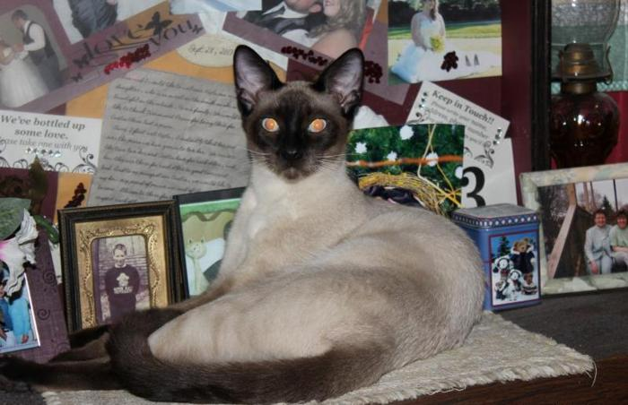 Pure Bred Siamese Kittens Tca Reg For Sale In Burnsville West Virginia Classified Americanlisted Com