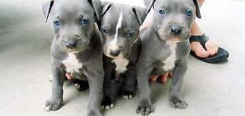 Pure Breed American Blue Nose Pitbull Terrier Pupp