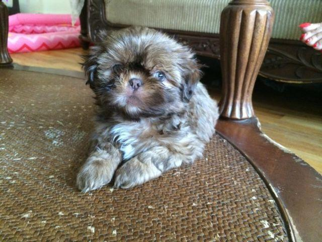 Pure Breed Blue Eyed Imperial Shih Tzu For Sale For Sale In