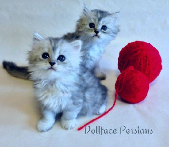 Pure breed dollface chinchilla kittens