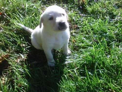 Pure Breed Golden Labrador Puppies